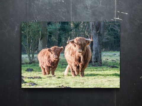 Coming Home Highland Cow and Calf Large Canvas Print